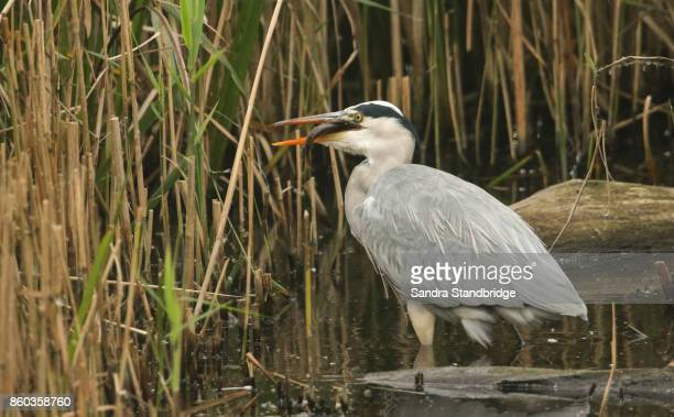 A Grey Heron (Ardea cinerea) eating a fish in the reeds at the edge of a lake.