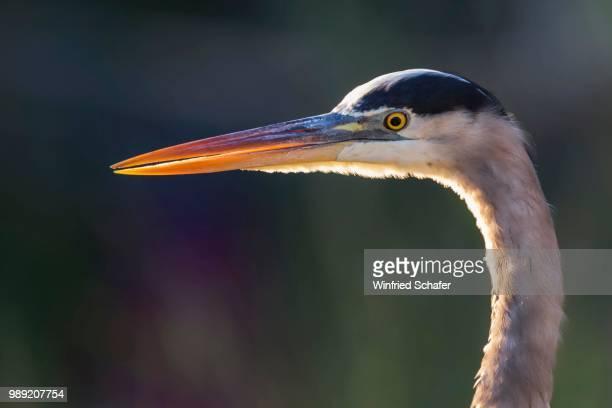 grey heron (ardea cinerea), everglades national park, anhinga trail, florida, usa - anhinga_trail stock pictures, royalty-free photos & images