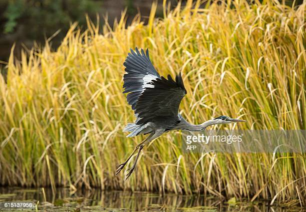 A grey heron flies over a lake near Stuttgart southern Germany on October 17 2016 / AFP / dpa / Silas Stein / Germany OUT