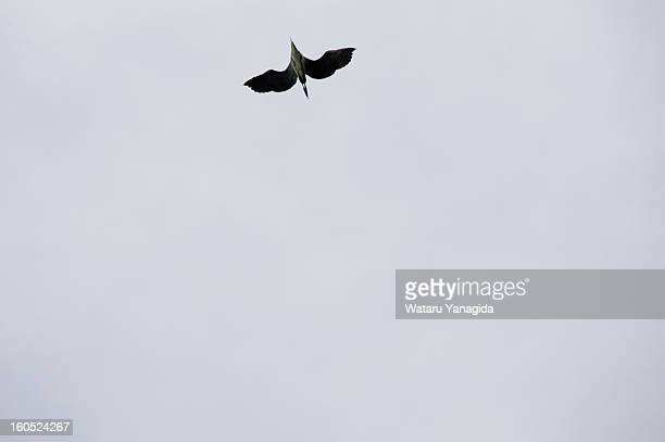 grey heron flying in sky - one animal stock pictures, royalty-free photos & images