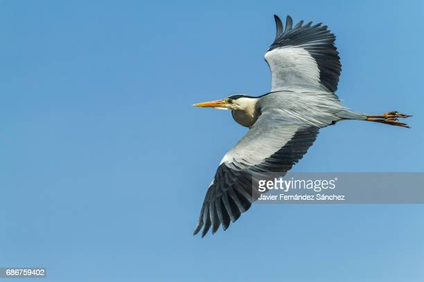 A grey heron (Ardea cinerea) flying over the blue sky with spread wings.