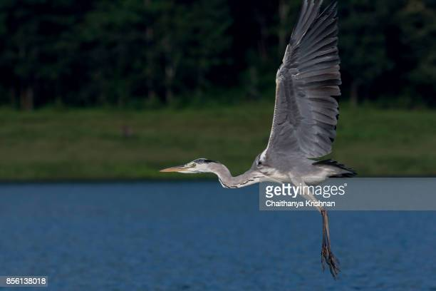 Grey Heron flying with the background of forest