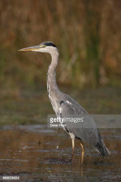 Grey Heron (Ardea cinerea) foraging in shallow water, Hungary