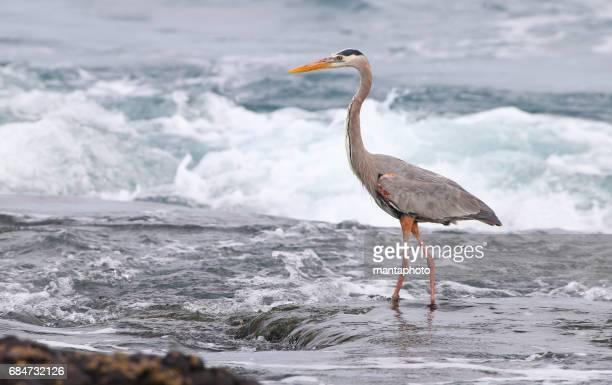 Grey Heron, Galapagos