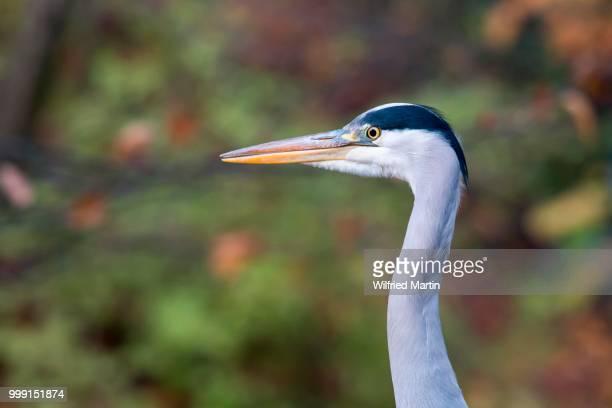 Grey Heron (Ardea cinerea), Hesse, Germany