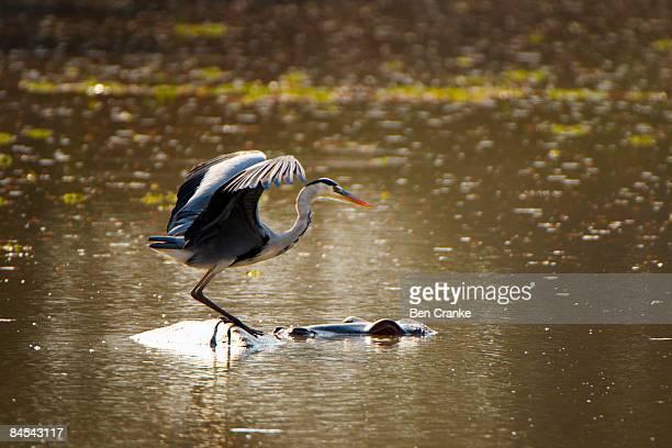 Grey Heron & Hippopotamus, Mana Pools NP, Zimbabwe
