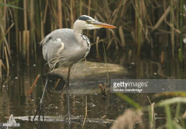 A Grey Heron (Ardea cinerea) hunting in the reeds for fish.