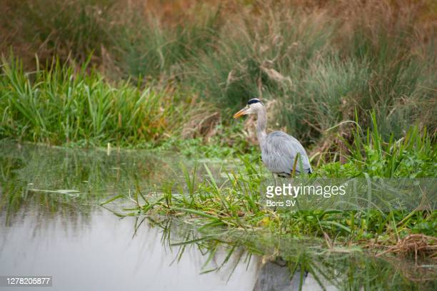 grey heron in bushy park, united kindgom - boris stock pictures, royalty-free photos & images