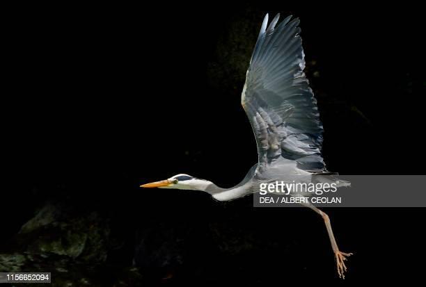 Grey heron in flight Dolomites TrentinoAlto Adige Italy