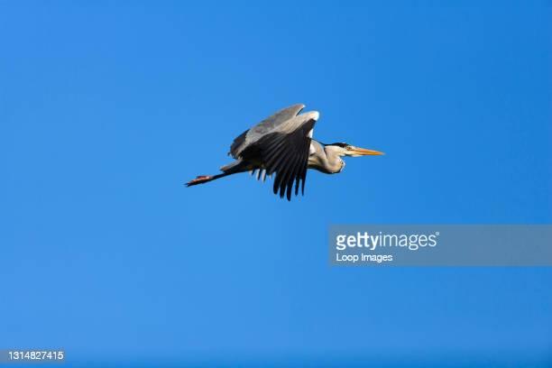 Grey Heron in flight.