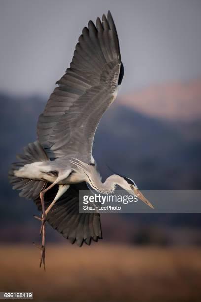 Grey Heron in Flight, South Africa