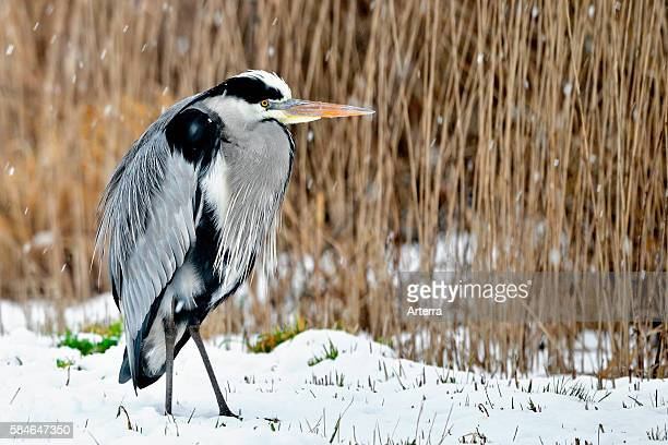 Grey Heron in reedbed in the snow in winter