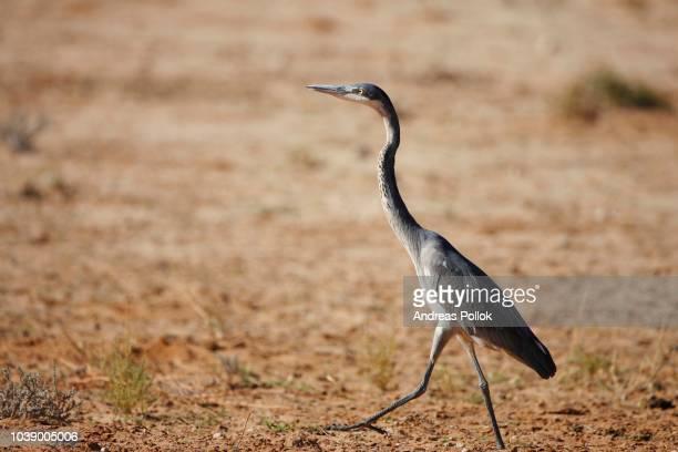 grey heron (ardea cinerea), kalahari, south africa - vista lateral stock pictures, royalty-free photos & images