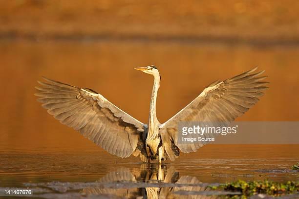 grey heron landing at lakeside - wildlife stock pictures, royalty-free photos & images