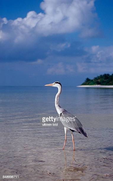 Grey Heron near Maldive Island Ardea cinerea Maldives Indian Ocean Meemu Atoll