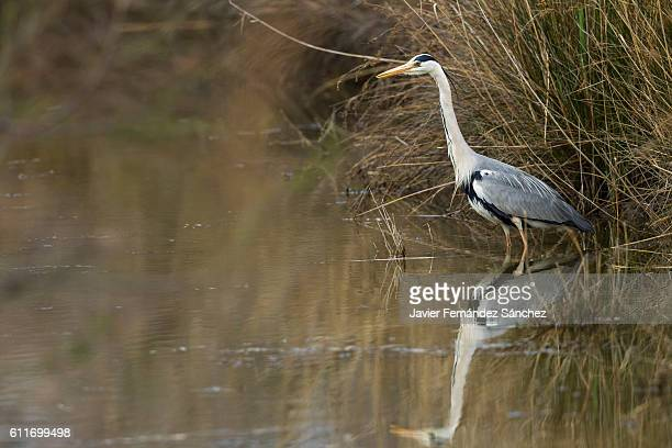 A grey heron (Ardea cinerea) on the shore with its reflection in the water.