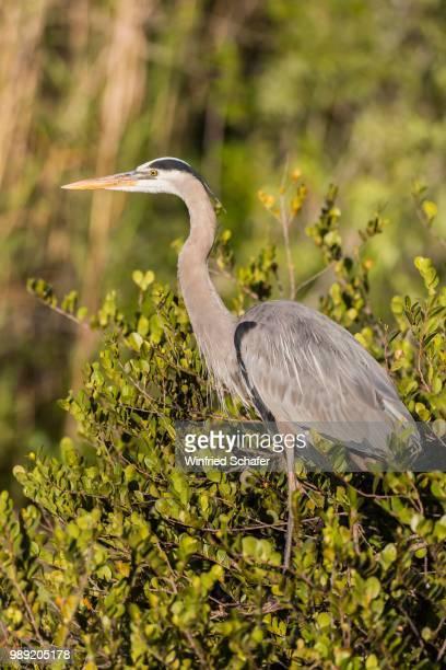 grey heron (ardea cinerea) on tree, everglades national park, anhinga trail, florida, usa - anhinga_trail stock pictures, royalty-free photos & images