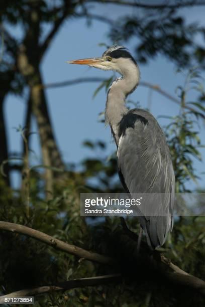A Grey Heron (Ardea cinerea) perched up a tree.