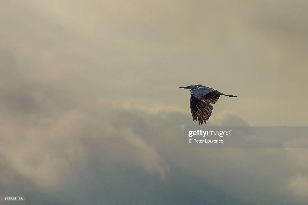 Grey Heron : Stock-Foto