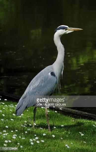 Grey heron Schwetzingen castle garden BadenWurttemberg Germany