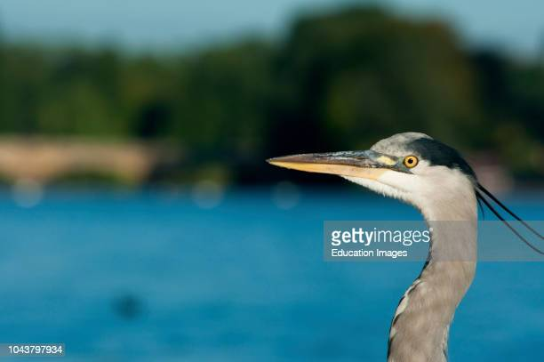 A grey heron seen in the Serpentine in Hyde park London in early morning light