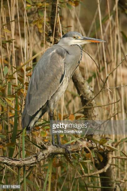 A Grey Heron (Ardea cinerea) sitting on a branch in the reed bed.