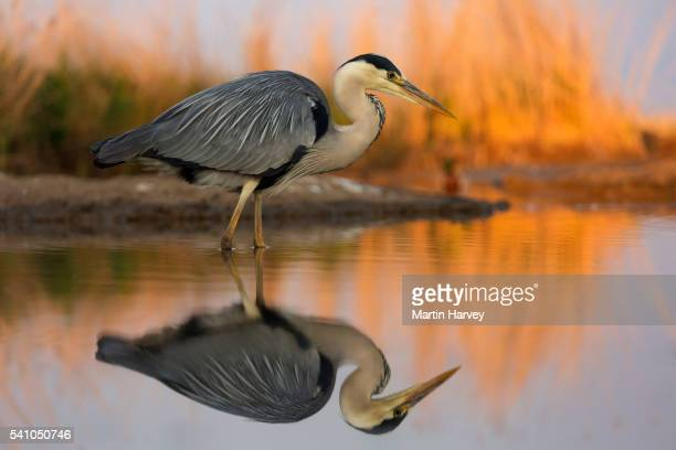 Grey Heron(Ardea cinerea) stalking prey