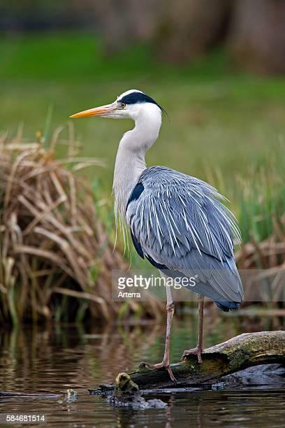 Grey Heron standing along lake shore Germany