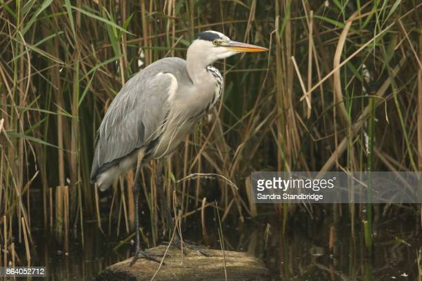 A Grey Heron (Ardea cinerea) standing on a log hunting in the reeds for fish.