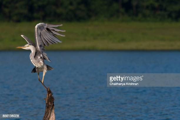 Grey heron taking off from a sitting position