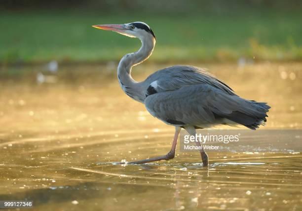Grey Heron (Ardea cinerea) wading in pond, Stuttgart, Baden-Wuerttemberg, Germany