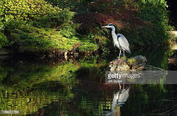 Grey Heron watches over a pond in Walpole Park in Ealing on November 11 2012 in West London United Kingdom