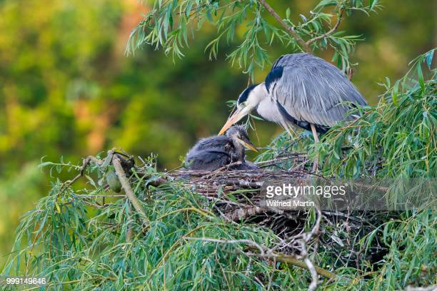 Grey Herons (Ardea cinerea), adult and chick perched on the nest, Lower Saxony, Germany
