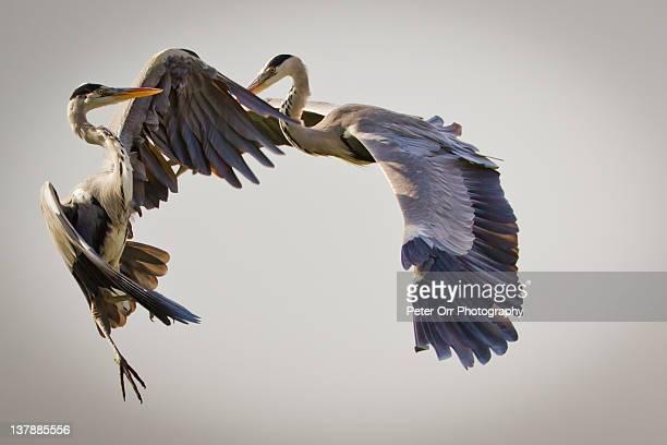 Grey herons fighting