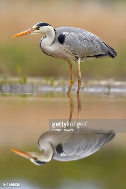 Grey herons (Ardea cinerea), standing in the water, with reflection, National Park Kiskunsag, Hungary