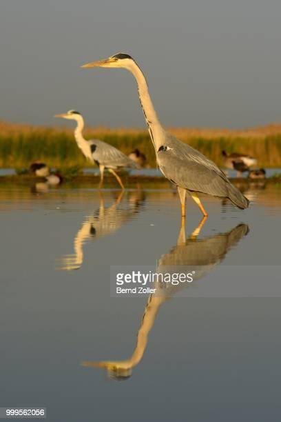 Grey Herons (Ardea cinerea), two adults foraging for food in the morning light, Kiskunsag National Park, Southeastern Hungary, Hungary