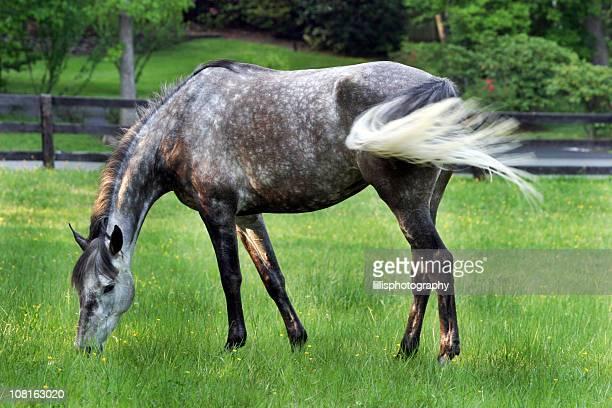 Grau Pferd beim Grasen in der Pasture