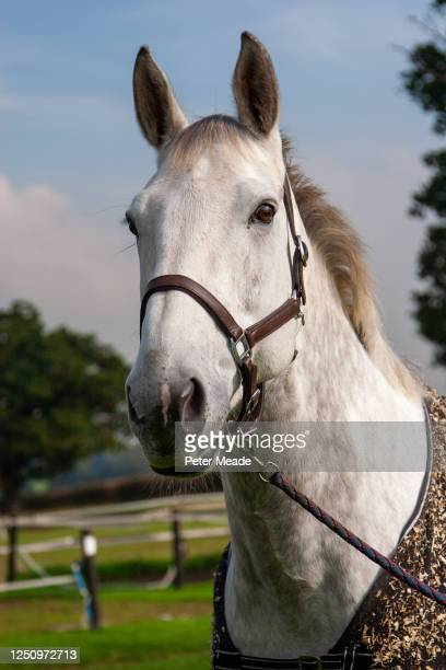 grey horse in a head collar and rug - windsor england stock pictures, royalty-free photos & images