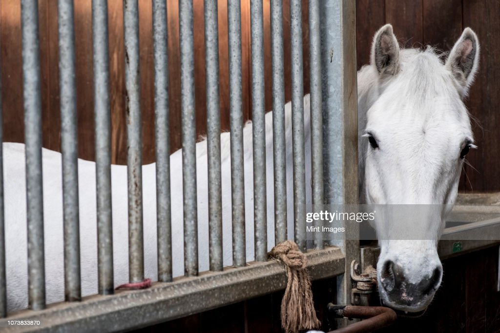 A grey horse looking out of its box at a stable. : Stock Photo