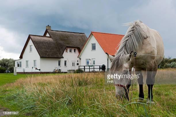 grey horse on a pasture in front of houses, hiddensee, mecklenburg-western pomerania, germany, europe - mecklenburg voor pommeren stockfoto's en -beelden