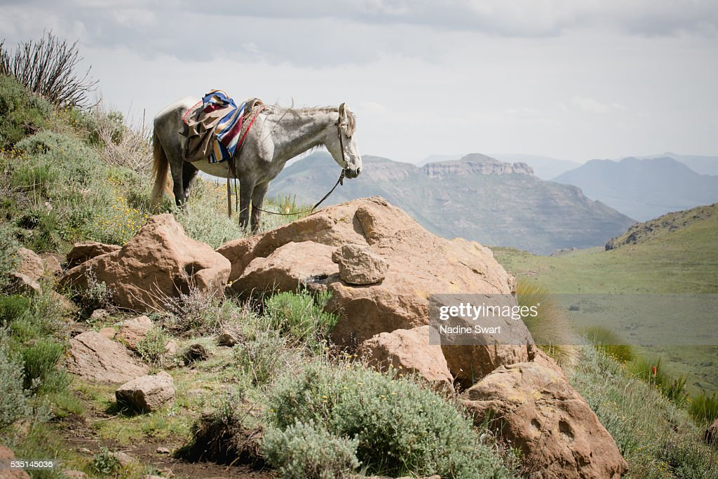 A grey horse with a saddle in the mountains : Stock Photo