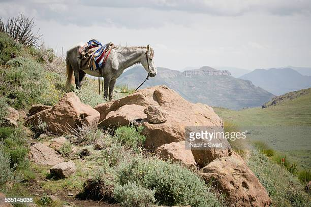 a grey horse with a saddle in the mountains - lesotho stock photos and pictures