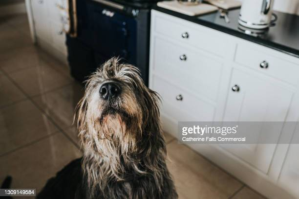 a grey irish wolfhound in a kitchen - she looks up at the camera - snout stock pictures, royalty-free photos & images