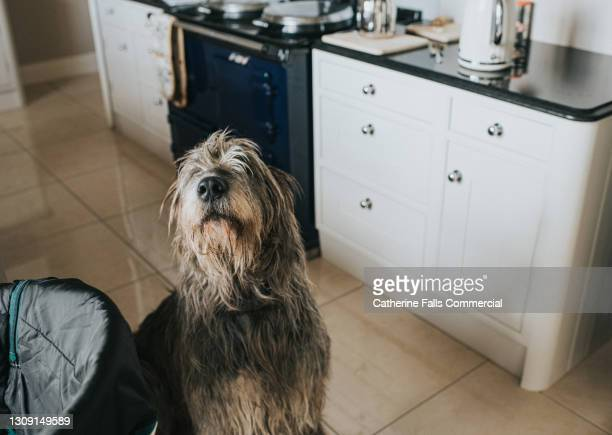 a grey irish wolfhound in a kitchen - she looks up at the camera - paw stock pictures, royalty-free photos & images