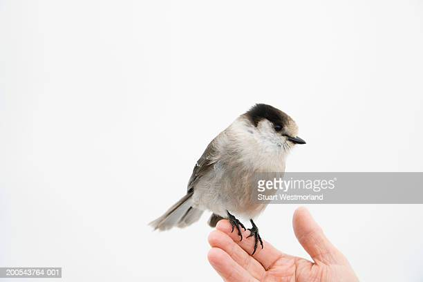 grey jay (perisoreus canadensis) perching on man's hand - image stock pictures, royalty-free photos & images
