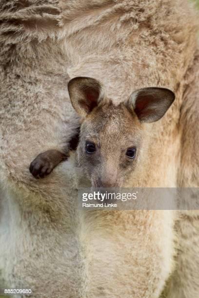 Grey Kangaroo, Macropus giganteus, Joey in Pouch, Murramarang National Park, New South Wales, Australia