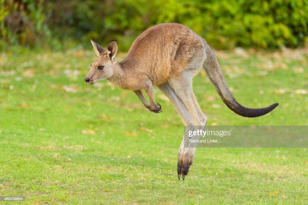 Grey Kangaroo, Macropus giganteus, Jumping, Murramarang National Park, New South Wales, Australia : Stock Photo