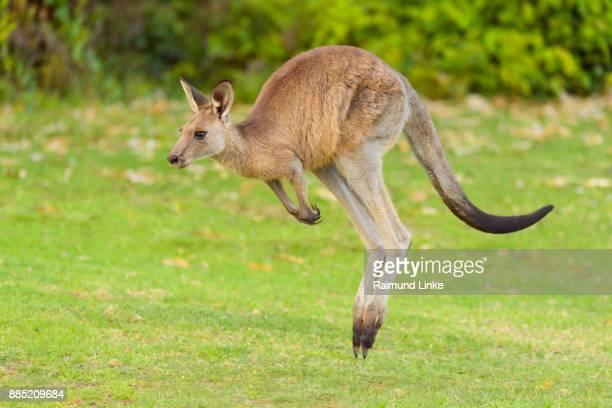 grey kangaroo, macropus giganteus, jumping, murramarang national park, new south wales, australia - marsupial imagens e fotografias de stock