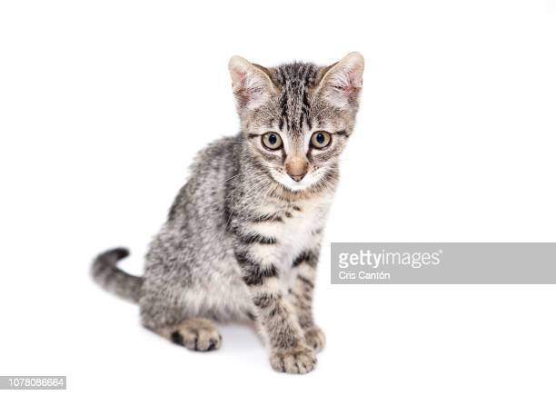 grey kitten - cris cantón photography stock pictures, royalty-free photos & images