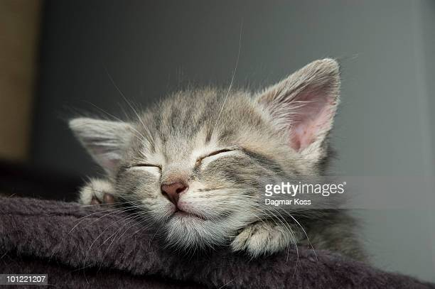 grey kitten sleeping - soltanto un animale foto e immagini stock